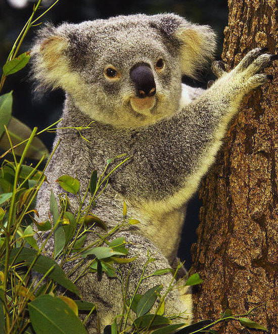 fun koala facts for kids