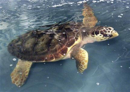 loggerhead turtle facts