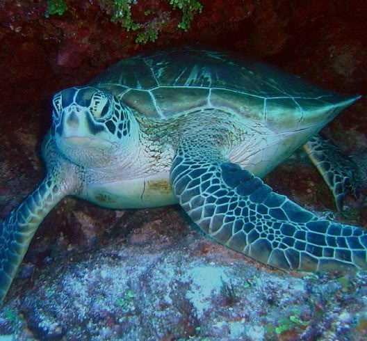 loggerhead sea turtle pictures