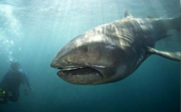megamouth shark facts