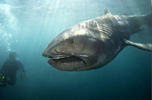 megamouth shark facts megamouth shark diet habitat