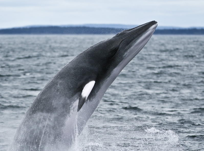 minke whale pictures