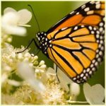 Monarch Butterfly Facts For Kids | Monarch Butterfly Diet & Habitat