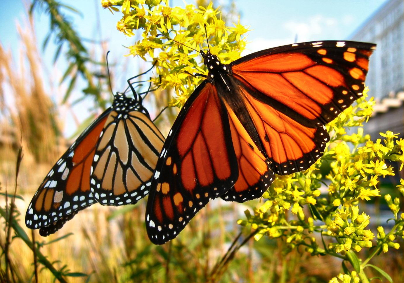 Monarch Butterfly Facts For Kids | Monarch Butterfly Diet ... - photo#29