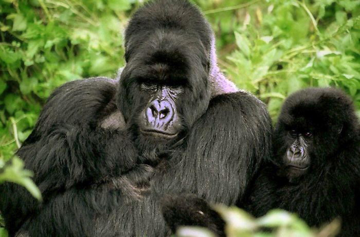 Mountain Gorilla - mountain gorilla facts