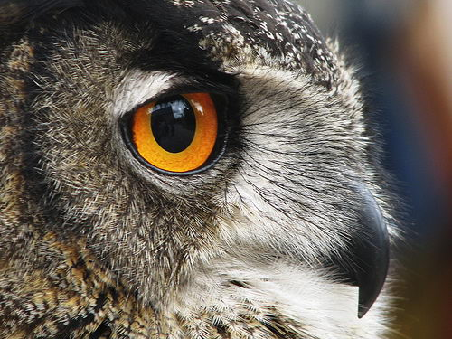 Owls eye - owl facts for kids
