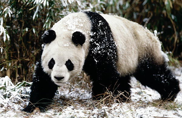 information about the habits and life of the giant panda bear Giant pandas grow to between 12m and 15m, and weigh between 75kg and 135kg scientists aren't sure how long pandas live in the wild, but in captivity they live to be around 30 years old 6.