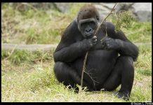 Gorilla Facts For Kids | Fun Facts About Gorillas For Kids