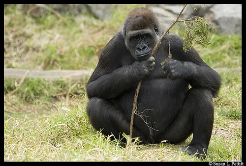 Gorilla Facts For Kids   Fun Facts About Gorillas For Kids