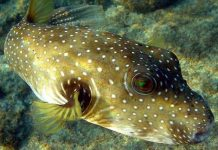 Animals time all about animals for kids for Puffer fish diet