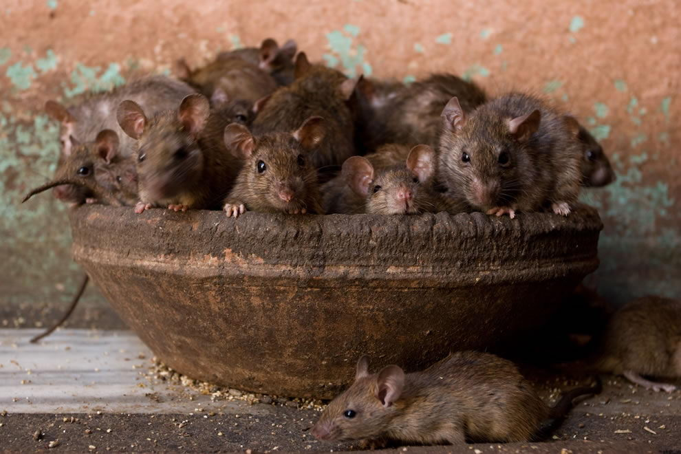 Rats in a bowl - rat facts for kids