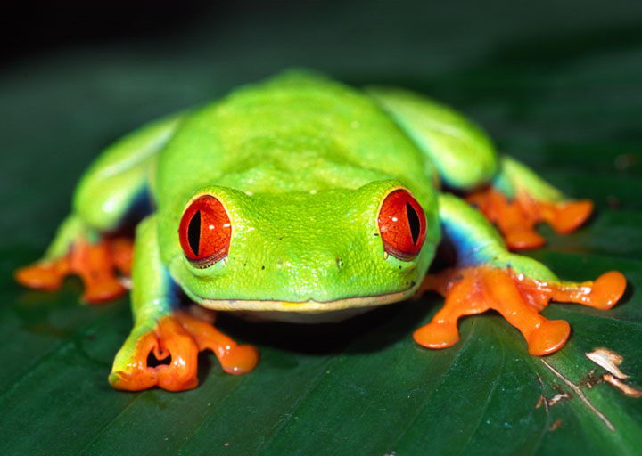 red eyed tree frog pictures