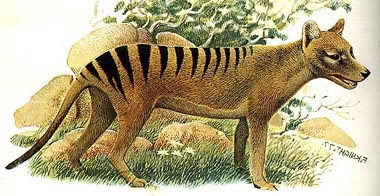 tasmanian tiger facts1