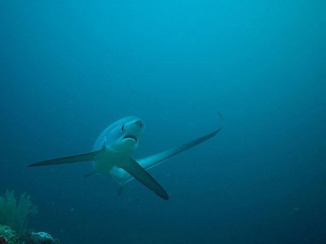 thresher shark pictures