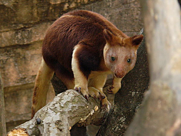 A Tree Kangaroo - Tree KangaroFacts