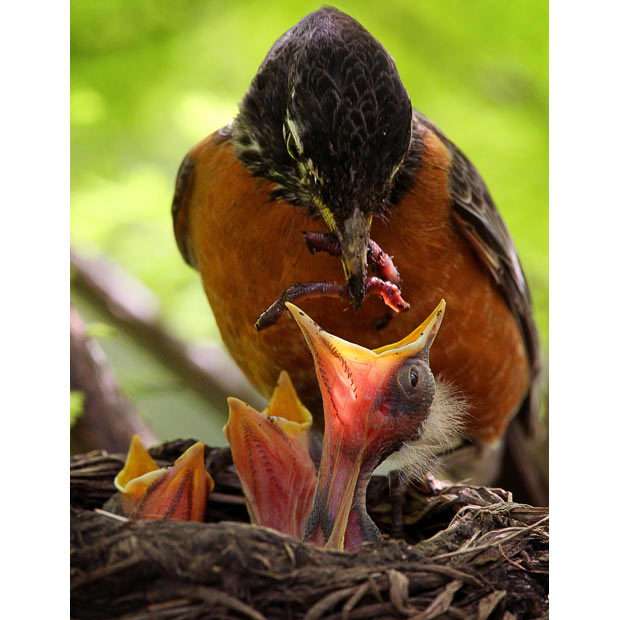 Bird feeding its babies - what to feed a baby bird