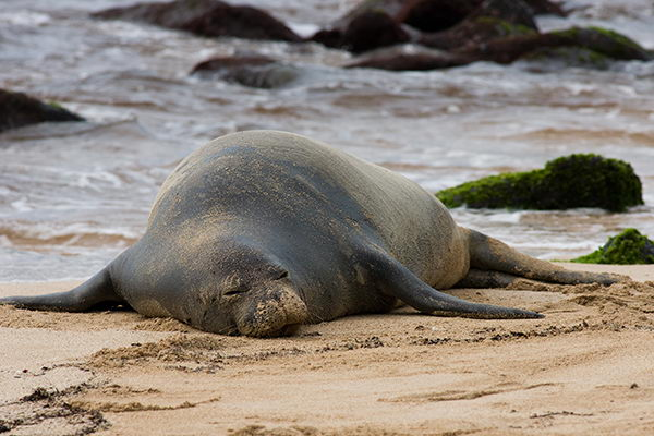 hawaiian monk seal facts