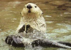 Sea Otter - endangered animals for kids