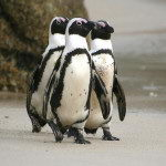 African Penguin Facts | African Penguin Diet & Habitat