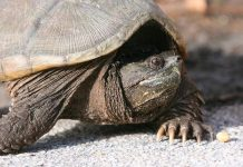Alligator Snapping Turtle (Macrochelys temminckii)