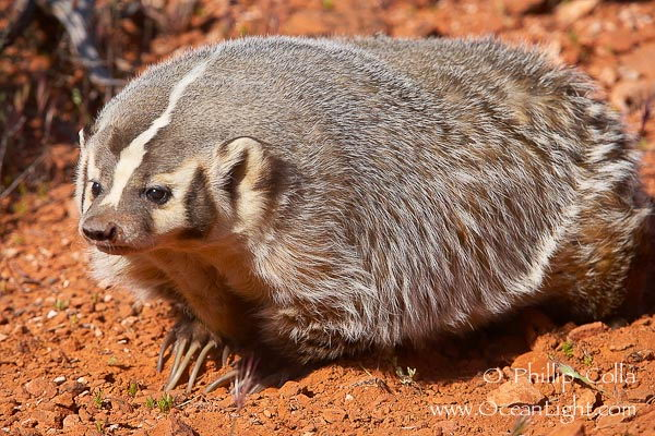 American badger - Badger facts for kids