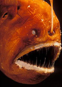 Angler fish facts habitat for Fish facts for kids