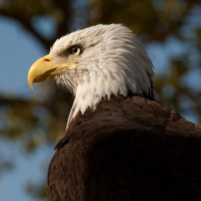 bald eagle facts for kids | bald eagle pictures