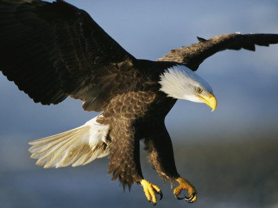 Bald Eagle Facts For Kids