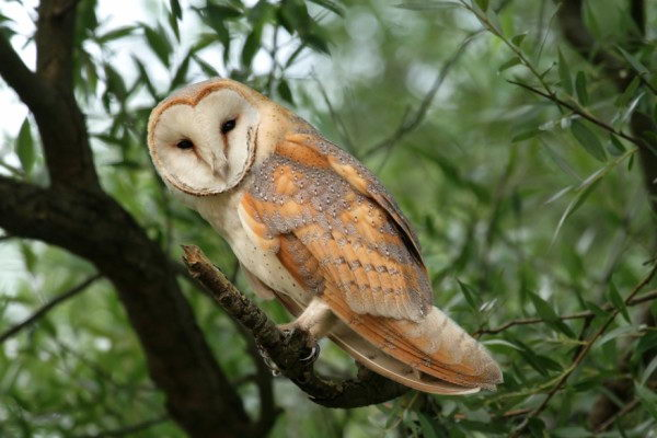barn owl facts for kids | barn owl