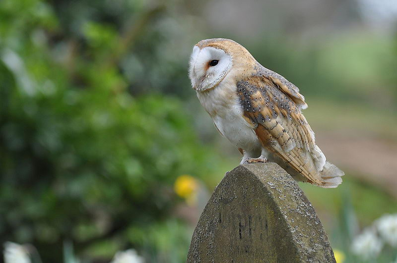 Barn Owls Diet in Nort...
