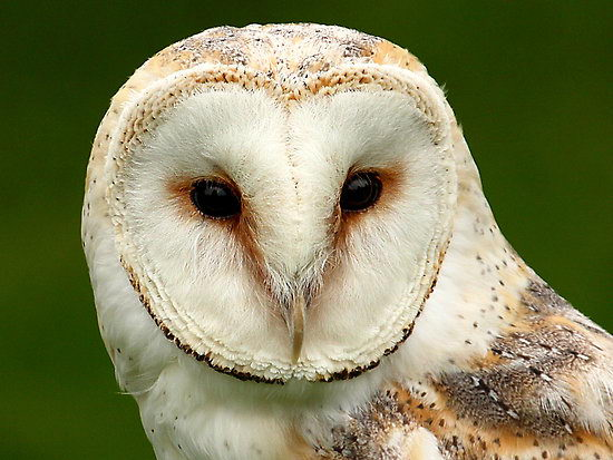 interesting barn owl facts for kids