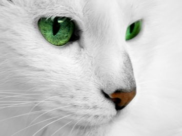 beautiful white cat - cat facts for kids