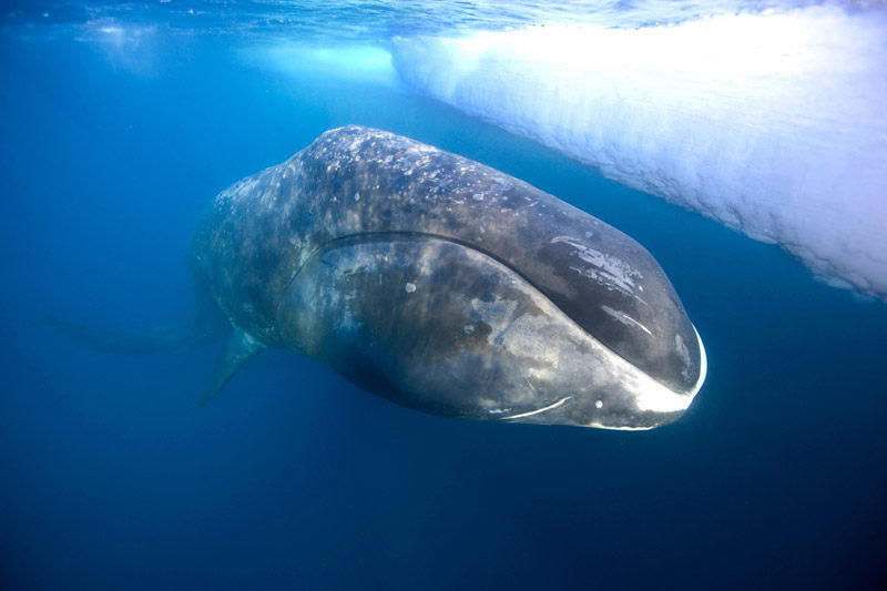 bowhead whale pictures