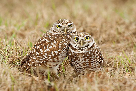burrowing owl pictures