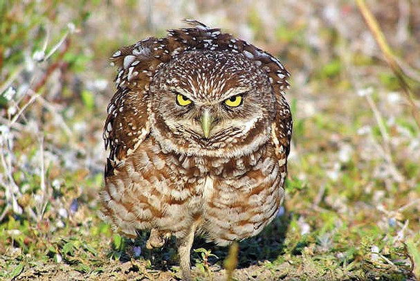Burrowing Owl Facts | ...