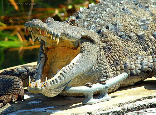 american crocodile facts