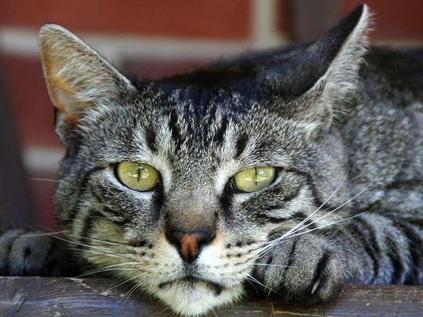 domestic cat - cat facts for kids