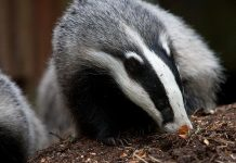 european basger - Badger facts for kids