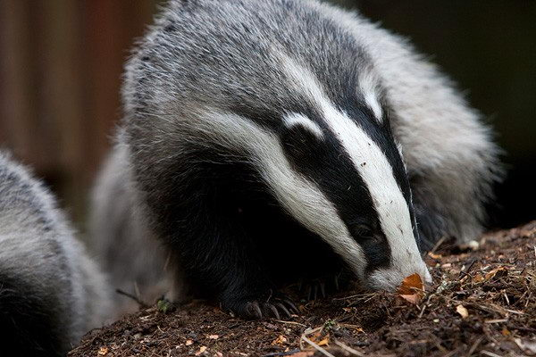 european badger - Badger facts for kids