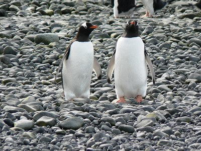 gentoo penguin pictures