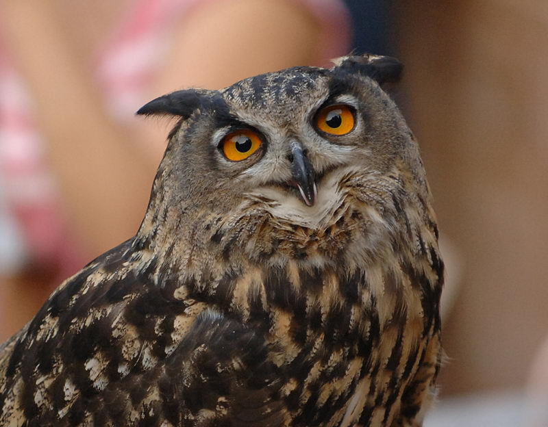 Great Horned Owl Facts...