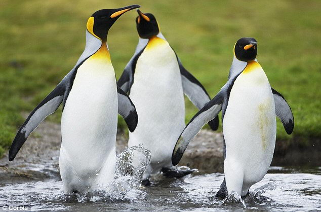 King Penguin Facts For Kids | King Penguin Diet & Habitat