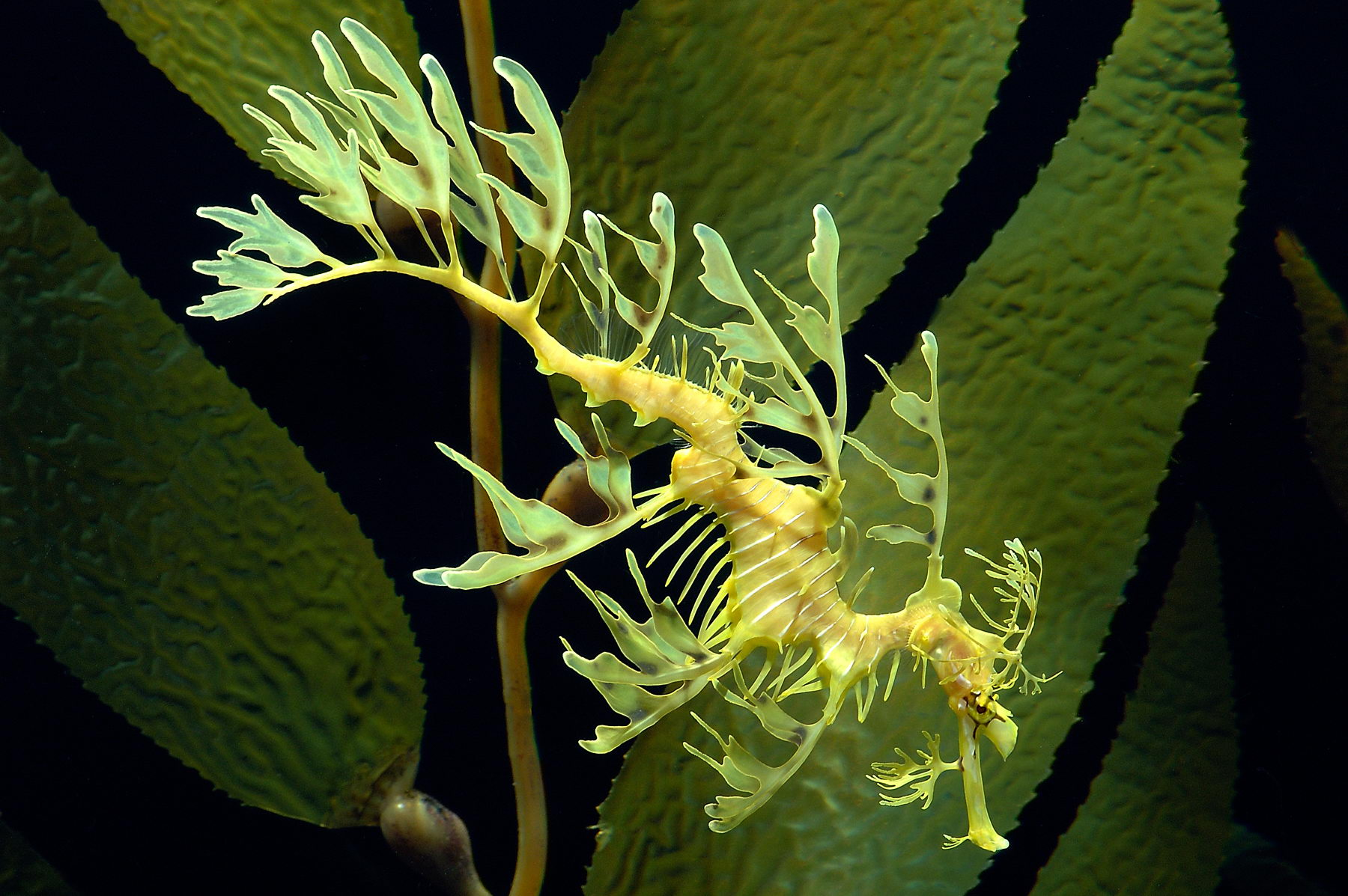 leafy sea dragon facts