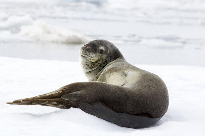 leopard seal pictures