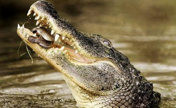 common crocodile (Crocodylus niloticus)
