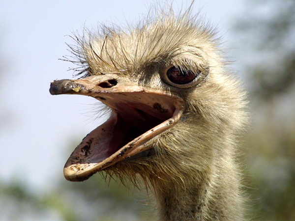 ostrich facts for kids
