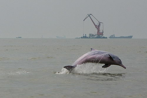pink dolphin pictures