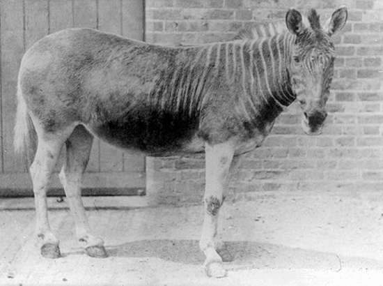 quagga extinction facts for kids - The last quagga in a zoo