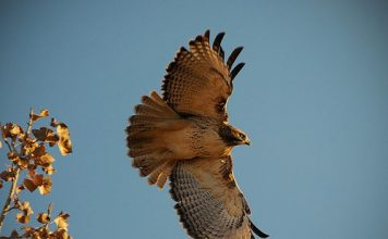 red tailed hawk facts for kids