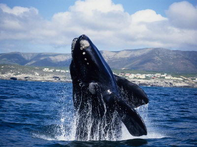 right whale pictures